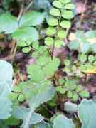 kowhai seedling