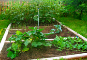 Vegetable Garden - '09