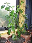 Chili plants