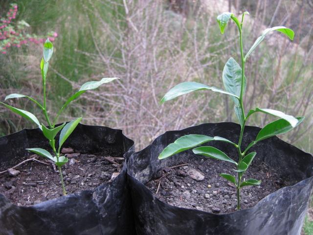 seville orange seedlings