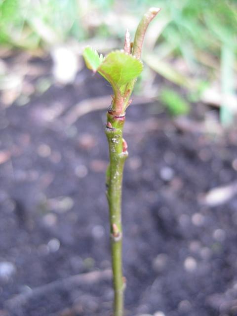 apple seedling