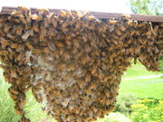 bees making comb on my topbar and daisy chaining