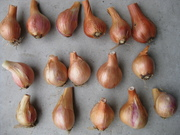 the best of the shallot harvest