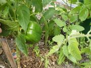 red capsicum (still green)