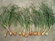 shallots harvested