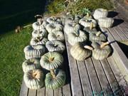 my pumpkin crop 2010