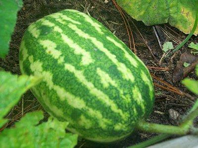 Watermelon - '09