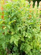 Cherry Tomato Plant - '10