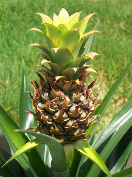 Pineapple - '10