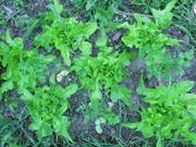 lettuce and coriander