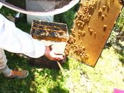 we got honeybees!