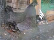 Hen & Chicks