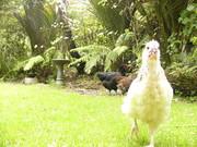 Chicken Allsorts