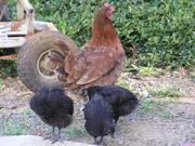 Growing chickies