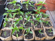 chili seedlings 27 Feb 11