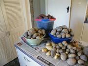 Main crop...potato harvest