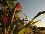 Landrace Corn