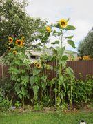sunflowers