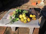 first of the citrus harvest