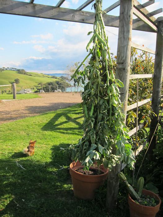 Garden Day Bean Harvest NOV2012
