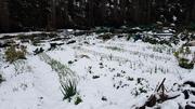 Garlic beds under spring snow