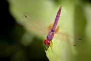 Trithemis annulata ♂