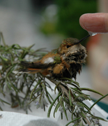 Rufous Hummingbird on the mend
