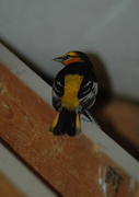 Bullock's Oriole that came for a visit