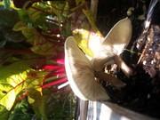 A couple mushroom volunteers in the chard