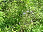 Swearing Creek Chicory
