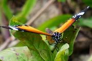 蔡鎮鴻:樺斑蝶 & 馬利筋