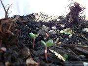 tiny strawberry plants