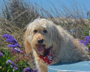 Clancy and the Flowers at Pismo