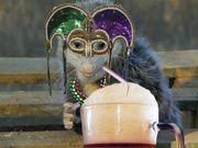 Mardi Gras Possum!