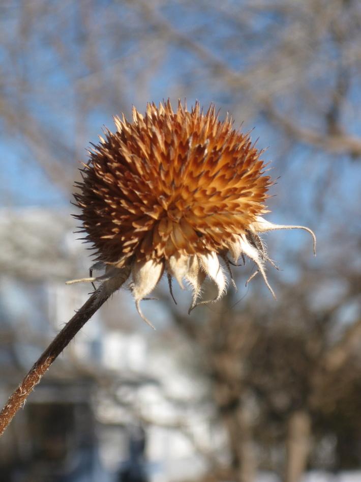 Coneflower seedhead awaits spring NoBo neighborhood