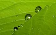 მწვანე ფოთოლი