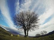 აკაკის ხე დემეტრეს მიდამოებში