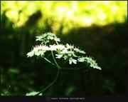 ქინძის ყვავილი, საკმაოდ ლამაზი..