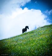 ჯუთელი ცხენი