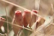 კაკტუსის ყვავილი