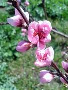 კვირტებით მოტანილი გაზაფხული