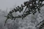 თოვლიან წიწვებიანი თევზი