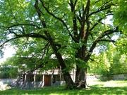 ხანშიშესული ხის ჩრდილქვეშ