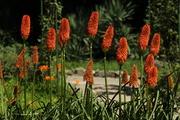 ადელის ყვავილები