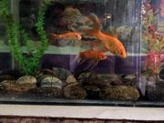 ქუთაისელი ოქროს თევზები