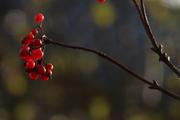 წითელი ჯახველა ( autumn - winter )
