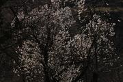 აყვავებული ხე