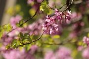 იუდას ხის ყვავილები
