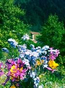 მინდვრის ფერადი ყვავილები