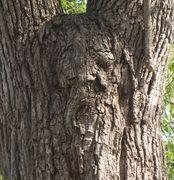 Odin Tree